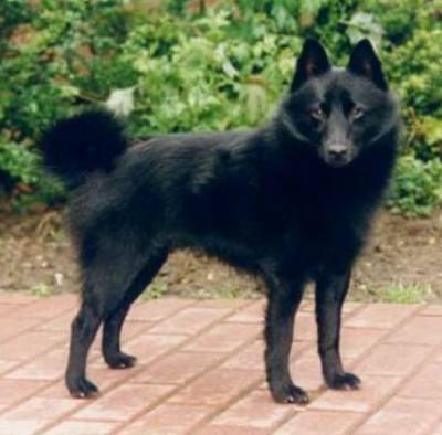 belgischen schäferhund welpe kaufen