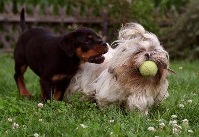 Wie man einen Hund Shih Tzu waschen--Dog Grooming