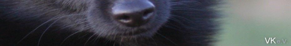 havaneser hunde in meklenburg vorpommern
